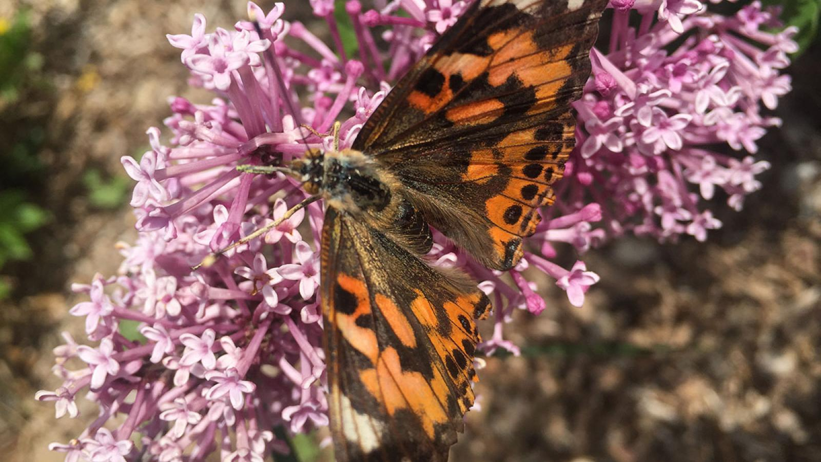 Photograph of a released Painted Lady butterfly on a lilac after the completion of our WOW Insect Unit